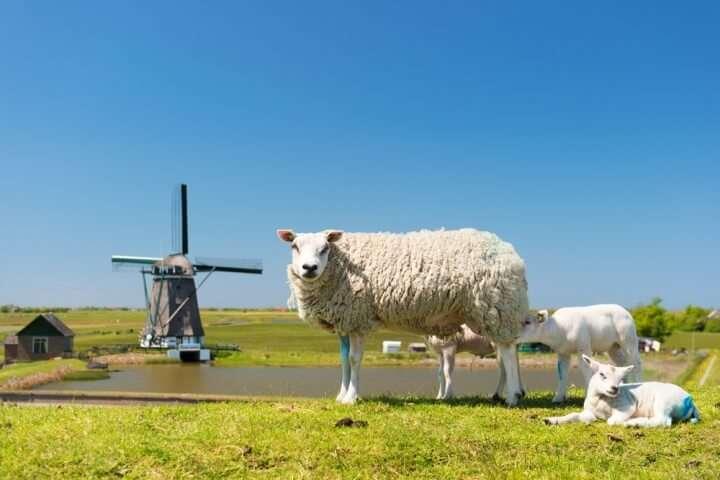 Nederland Texel molen en schaap