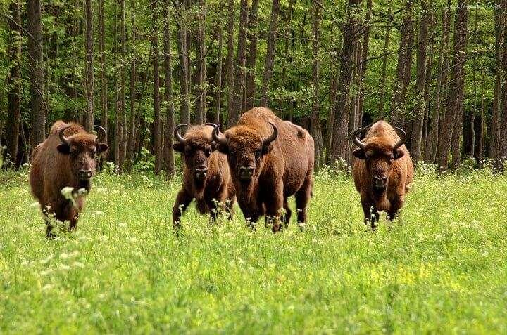 Europese bizons in Polen