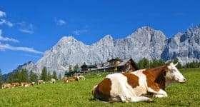 Flachau aanbieding Oostenrijk Salzburgerland Koe