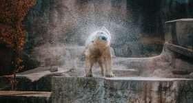 schuddende ijsbeer in de dierentuin