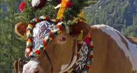 Oostenrijk Tirol Alm Abtrieb Koe
