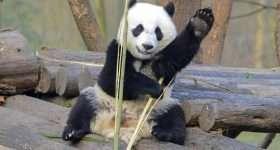Nederland Ouwehands Panda scaled e1599571107510