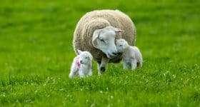 Nederland Texel schaap met lammetjes scaled